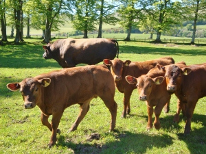 Windy Gowl Red Angus cattle