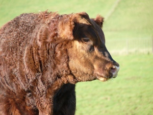 Windy Gowl Red Angus